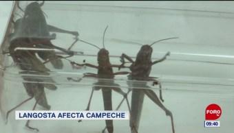 #LoQueVimosEnLaRed: Langosta afecta Campeche