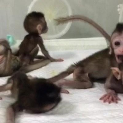 China clona cinco monos alterados genéticamente para analizar trastorno del sueño