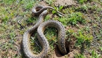 Profepa libera serpiente y recibe a una aguililla cola roja