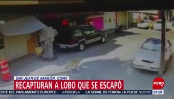 Foto: Recapturan a lobo que se escapó del Zoológico de San Juan de Aragón