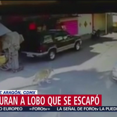 Recapturan a lobo que se escapó del Zoológico de San Juan de Aragón