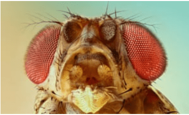 mosca Drosophila melanogaster