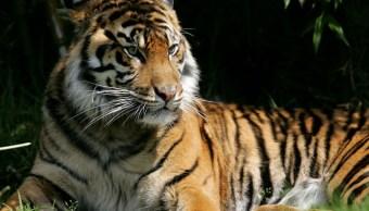 Foto Alertan presencia tigre suelto Desierto de los Leones 31 enero 2019