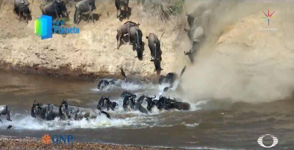 Foto: En solo cuestión de minutos, se produce una estampida de cientos de animales jadeantes, intentando cruzar, 27 febrero 2019