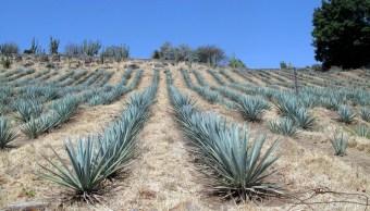 foto ¿Padeces colitis? Científicos del IPN buscan combatirla con agave 6 septiembre 2011