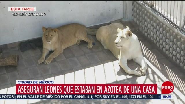 Foto: Aseguran tres leones en azotea de una casa de CDMX