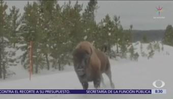 Bisonte sorprende a turistas al correr a toda velocidad en EU