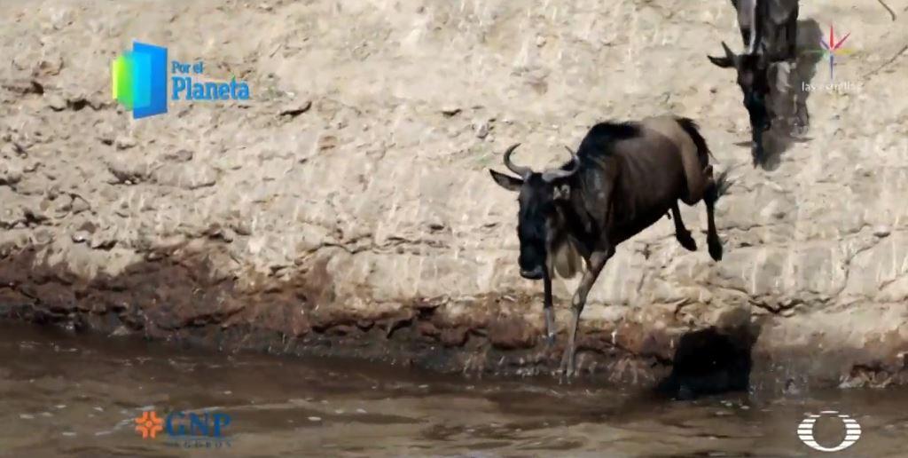 Foto: De manera instintiva otros ñus se lanzan al río, 27 febrero 2019