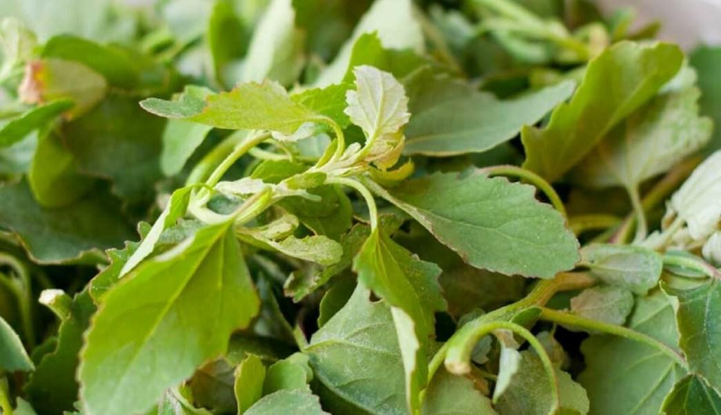los quelites son una planta que se consume en Mexico