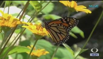 Foto: Cuál es el futuro de la mariposa monarca?