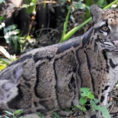 Avistan a leopardo nublado de Taiwan, se creía extinto hace años
