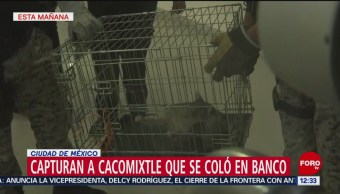 Foto: Era cacomixtle, no mapache, el intruso de banco en CDMX