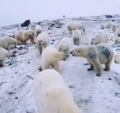 Video: Más de 50 osos polares invaden pueblo ruso