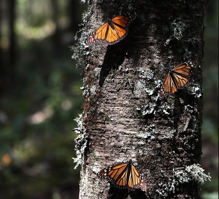 Foto: Mariposas monarca se aglomeran en racimos en el santuario de Amanalco de Becerra, en las montañas cerca del extinto volcán Nevado de Toluca, en México, el 14 de febrero de 2019
