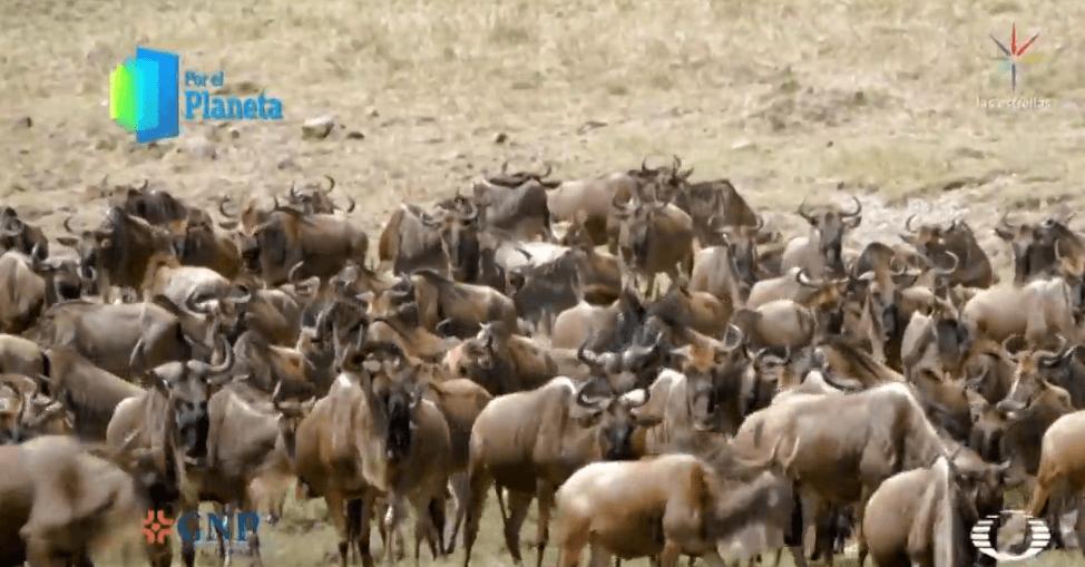 Migración de ñus en Kenia, África, 26 de febrero de 2019