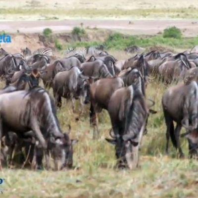 En busca de la supervivencia manadas llegan al Masái Mara, en Kenia