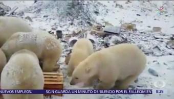 Rusia declara estado de emergencia por invasión de osos polares
