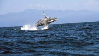 Foto: Cada año, del 15 de diciembre al 15 de abril, las ballenas grises recorren más de 12 mil kilómetros desde las frías aguas de Alaska, el 30 de marzo de 2019 (Notimex, archivo)