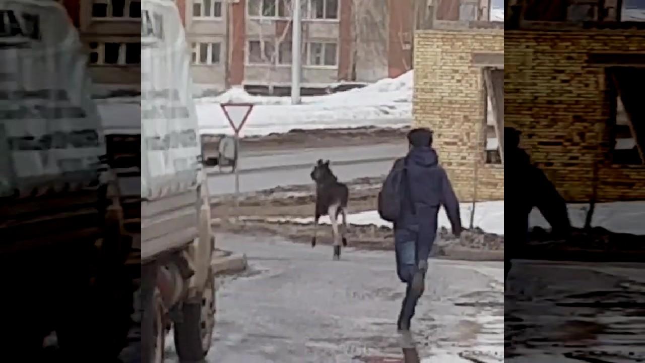 Captura de pantalla que muestar la huida final del alce después de haberle sido arrojado un gato por una vecina del bloque de viviendas (LiveLeak Captura de pantalla)