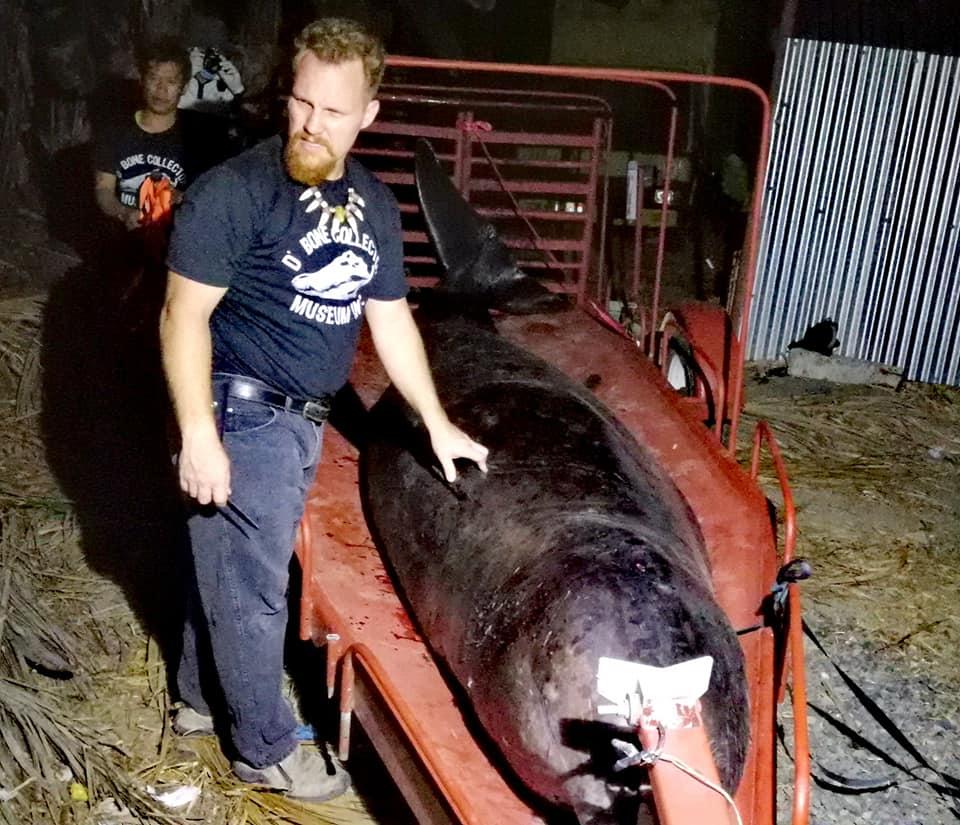 Especialistas retiran el cuerpo del ballenato de la playa filipina para realizar una autopsia (Darrell Blatchley D'Bone Collector Museum Inc.)