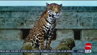 Foto: Jaguar Riesgo Tren Maya Ambientalistas 13 de Marzo 2019