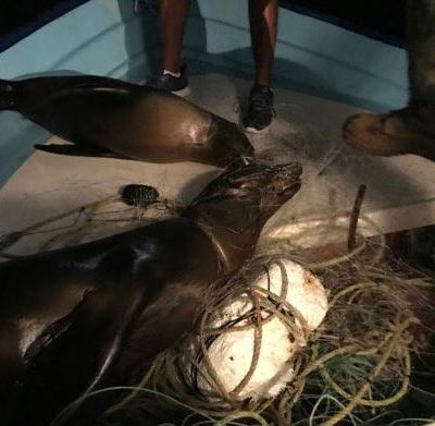 Crías de lobos marinos mueren atrapados en red de pesca, en BCS