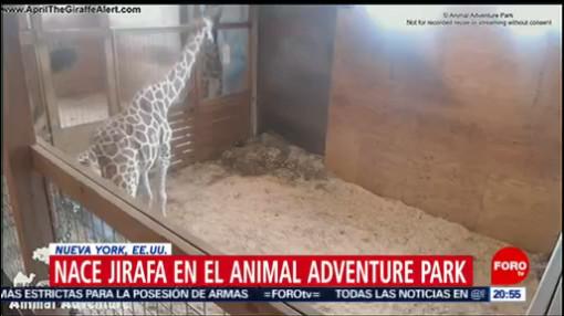 FOTO: Nace jirafa en el Animal Adventure Park en Nueva York, 16 marzo 2019
