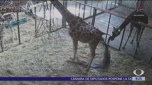 Foto: Nace jirafa en zoológico de Reino Unido