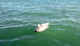localizan cadaver de vaquita marina atrapado en red para pesca de totoaba