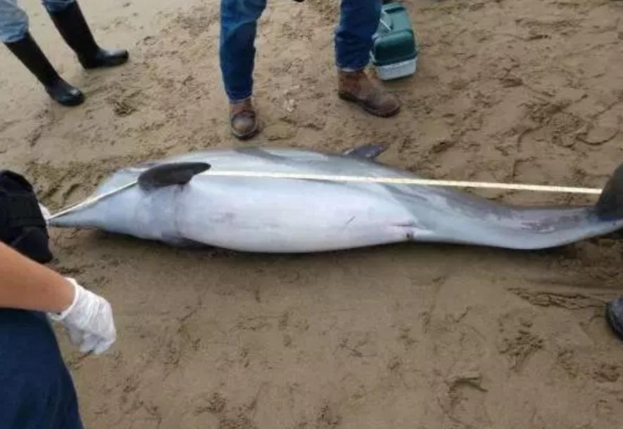 Foto: Elementos de Protección Civil Municipal hallan un delfín muerto en playas de Coatzacoalcos, Veracruz a la altura de la colonia Dunas, marzo 9 de 2019(Foto: costaveracruz.net)