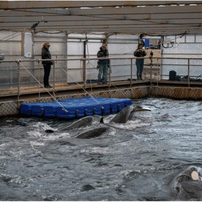 Rusia liberará a ballenas y orcas tras la mediación de Cousteau