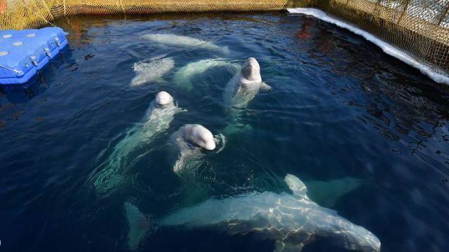 Foto: Rusia propone liberar a cetáceos de la mayor 'cárcel de ballenas', 4 abril 2019