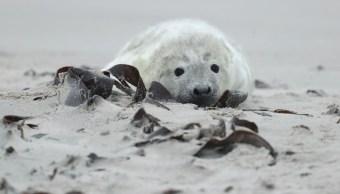Cacería de focas continúa en Canadá; PETA llama a detenerla