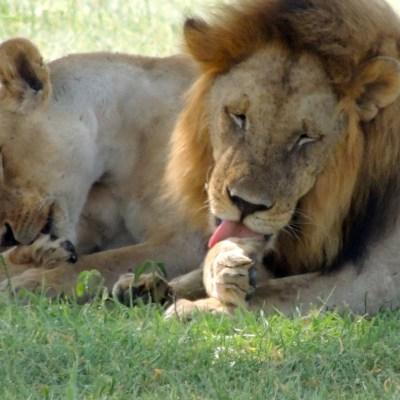 Elefante mata a cazador furtivo y su cuerpo es devorado por manada de leones