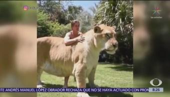 Enorme cría de tigre y león se hace viral en redes sociales