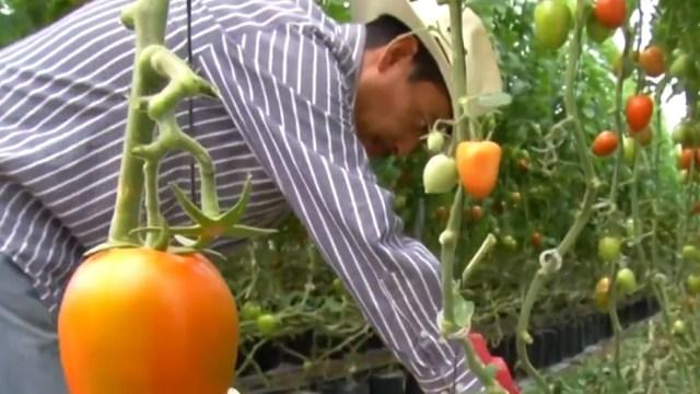 Exmigrantes hidalguenses, exitosos productores de jitomate tras ser deportados de EEUU
