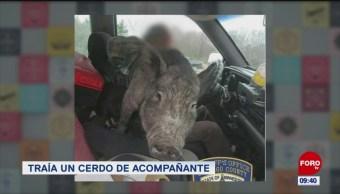 Extra, Extra: Zigzaguea por llevar cerdos