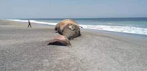 Foto: Una ballena apareció muerta en la playa La Tuza de Monroy, en Jamiltepec, Oaxaca.