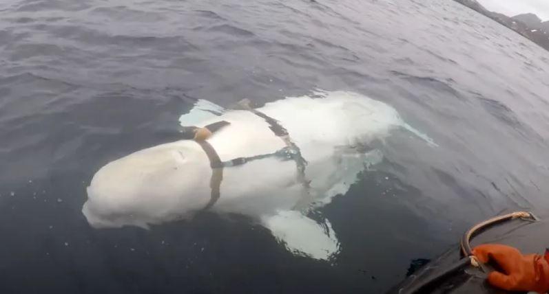 Fotografía de la beluga con arnés, capturada por uno de los pescadores noruegos que la avistaron en el mar Ártico (VG Noruega)