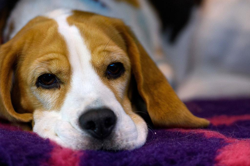 foto perro beagle 13 de marzo de 2016