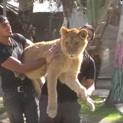 Zoológico amputa las garras de una leona para que los niños jueguen con ella