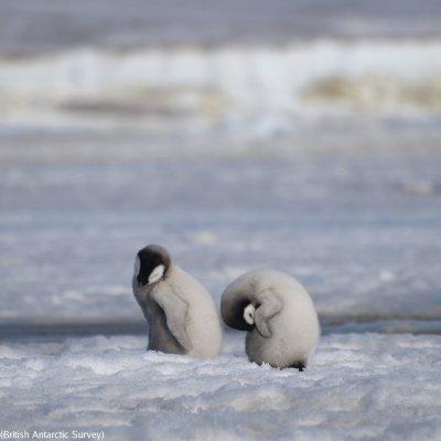 Mueren miles de pingüinos bebés por el cambio climático