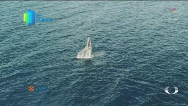 Foto: Por El Planeta Monitoreo Ballenas Jorobadas 29 de Abril 2019