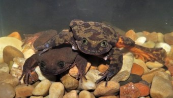 Romeo y Julieta, las ranas que viven juntas para extender su especie en Bolivia