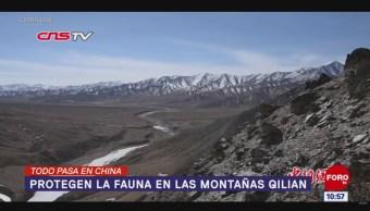 Todo Pasa En China: Protegen la fauna en las montañas Qilian