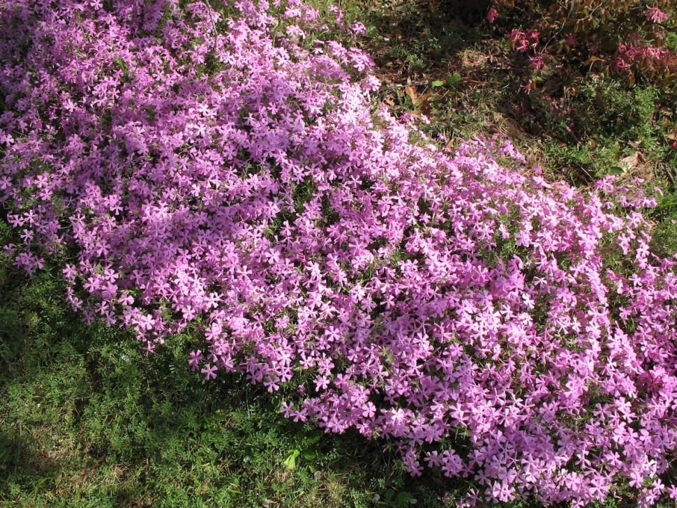 Un arbusto de 'moss pink', conocida como 'rosa musgo', planta que le da nombre al fenómeno lunar (Online Plant Guide)