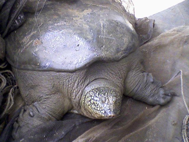 Una tortuga de caparazón blando 'rafetus' que fue capturada en el lago Dong Mo, en Vietnam (Wikimedia Commons/Phuongcacanh)