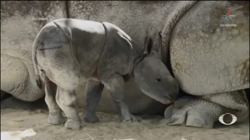 Foto: Zoológico Miami Recibe Rinoceronte Concebido Ovulación Inducida 26 de Abril 2019
