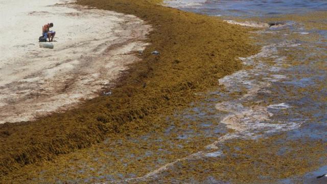 Advierten que este año llegará aún más sargazo a playas de Quintana Roo