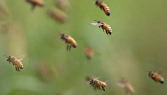 Productores de miel de Yucatán mejoran genética de las abejas con ejemplares europeos